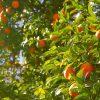 orange-tree-1149584_1920